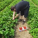 Sortie aux fraises
